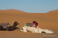 Before the Ride (farahleon) Tags: whitedromedary dromedary ergchebbi merzouga sahara maroc morocco