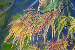 Delicate Leaves (Read2me) Tags: cye autumn leaves dof pregamewinner ge agcgwinner friendlychallenges thechallengefactory perpetualchallengewinner