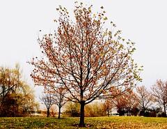 Autumn Morning (reflection below) (Robert Cowlishaw (Mertonian)) Tags: mertonian autumnmorning driving2work canon powershot g7x mark ii canonpowershotg7xmarkii almostnaked golden hangingon robertcowlishaw autumn fall