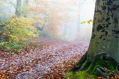 Autumn forest in the fog (Che Camera) Tags: bischoffingen dunst herbst kaiserstuhl nebel sonyalpha6000 sonysel50mmf18oss teamsony vogtsburg wald autumn fog forest mist vogtsburgimkaiserstuhl badenwürttemberg deutschland de