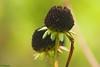 Herbstlicher Sonnenhut (Phasianii) Tags: olympus omd em1 phasianii herbst autumn natura rudbeckia blüte blossom pflanze korbblütler asteraceae