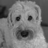 mug shot (Eric.Ray) Tags: dog nikon d5300 dslr portrait animals maggienae 50mm f18 pet puppy square black white monochrome