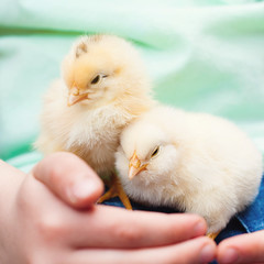 Little baby Chick in chld's Hands (Kseniya Polonskaya) Tags: easter chicken animals chick bird hen baby children kids nestling people man human fur care farm countryside rural country child kid love domestic cozy little hands hugs family nest concept conceptual idea summer tiny spring yellow green sleepysleep kind tender tenderness newborn woman