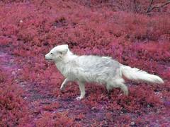 Pink Artic fox (benedictjones1) Tags: arctic fox norway nature animal