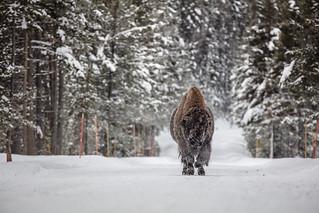 Frosty bull bison in the road near Fishing Bridge (2)