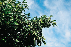 the avocado tree at my in-laws' is set for another bumper crop (Gail at Large | Image Legacy) Tags: 2017 famíliaaguiar maia portugal gailatlargecom sewing