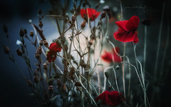 There are Always Flowers For Those Who Want To See Them...Henri Matisse <3 xx (Samantha Nicol Art Photography) Tags: poppy flowers dead booked nature lxcn art looks like film samantha nicol photographer beith red poppies