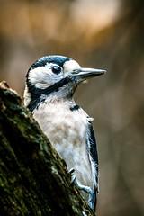 Great Spotted Woodpecker (_John Hikins) Tags: yarner wildlife woods woodpecker devon dartmoor d500 bird birds great spotted branch bokeh nikon nikkor nature sigma 150600mm 150600c 150600