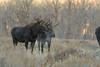 Boys Will Be Boys (Amy Hudechek Photography) Tags: moose bull drool female rut autumn fall gtnp grand teton national park amyhudechek wildlife nature