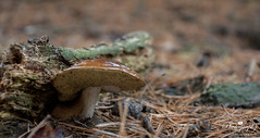 autumn scene (gelein.zaamslag) Tags: thenetherlands nature autumn autumncolors mushroom mushrooms geleinjansen nikon brown