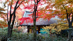 Bulguksa temple 佛國寺 (MelindaChan ^..^) Tags: gyeongju skorea 韓國 慶州 bulguksa temple 佛國寺 unesco heritage history korean chanmelmel mel melinda melindachan roof worship autumn leaves fall foilage plant tree maple