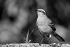 Chalk-browed Mockingbird (Thelma Gatuzzo) Tags: natureza sãopaulo pousadadafazenda flora montealegredosul nature brazil 2015 fauna thelmagatuzzophotography© travel