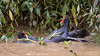 Common Gallinule - Fighting (Cristofer Martins) Tags: fighting fight commongallinule frangodáguacomum gallinulagaleata nature wildlife birds bird birdwatching brazilianbirds