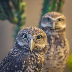 Burrowing owls (Notkalvin) Tags: burrowingowls owl owls bird birds pair two notkalvin mikekline notkalvinphotography outdoor aviary who cool animals critters nopeople square