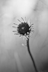 Immature Coneflower (CoreysPics) Tags: 7d 7dmarkii 7dmii canon dslr ef135mmf2lusm eos eos7dmii summer blackandwhite coneflower daylight flower flowergarden flowers monochrome outdoors sunlight