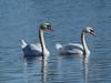 Höckerschwan / Mute swan (A.Dragonheart) Tags: cygnusolor muteswan tier vogel animal bird höckerschwan schwan swan wasser water blau blue weis white natur nature outdoor