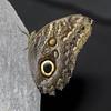 Caligo memnon (Ouwesok) Tags: sonya6000 sigmaapo56180mmmacro caligomemnon uilvlinder vlinder vlindertuin orchideeënhoeve manualfocus
