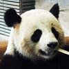 Jiao Qing (Shahrazad26) Tags: berlin zoo dierentuin germany duitsland deutschland allemagne berlijn pandabeer jiaoqing bamboe bamboo