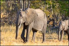 African Bush Elephants (John R Chandler) Tags: africanbushelephant africanelephant animal elephant hwangenationalpark loxodontaafricana mammal matabelelandnorthprovince zimbabwe zw