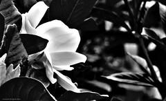 jazmin en blanco y negro (ojoadicto) Tags: flower flor blackandwhite blancoynegro contrast contrastes jazmin nature naturaleza artisticphotography