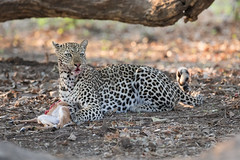 Do you like my lip gloss? (Thomas Retterath) Tags: 2017 natur nature southluangwavalley sambia zambia africa afrika pukuridge allrightsreserved thomasretterath copyrightthomasretterath adventure wildlife abenteuer bigfive leopard felidae raubtiere predator carnivore säugetier mammals animals tiere pantherapardus coth5