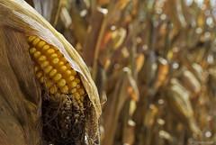 Corny.... (Joe Hengel) Tags: corny corn fall fallcolors bokeh pennsylvania ephratapa ephrata seed