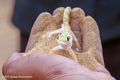 Palmato Gecko (George Pachantouris) Tags: namibia africa southern travel holiday namib desert lizard gecko dunes sand