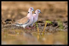Beauty of The Nature (asifsherazi) Tags: mourningcollareddove lakebaringo kenya asifsherazi nikonsafari wildlife