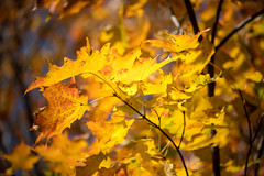 Rhapsodie en jaune /Rhapsody in yellow (Joanne Levesque) Tags: explore20171103 automne autumn feuilles leaves mapletree érable jaune yellow nature nikond7500 montreal quebec