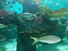 Swimming #toronto #ripleysaquarium #aquarium #fish #latergram (randyfmcdonald) Tags: fish ripleysaquarium latergram aquarium toronto