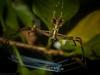 Menneus aussie (dustaway) Tags: arthropoda arachnida araneae araneomorphae deinopidae menneus menneusaussie netcastingspider australianspiders rotarypark rprr rainforest lismore northernrivers nature nsw australia