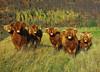 Highland Cattle (eric robb niven) Tags: ericrobbniven scotland highland cattle glenlyon hillwalking cycling autumn