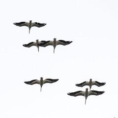 American White Pelicans in Flight (ksblack99) Tags: americanwhitepelican bird pelican flight pelecanuserythrorhynchos guttenberg iowa