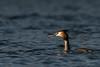 A la surface... (Denis-et-Alain-nature) Tags: oiseaux grèbehuppée marais étangs eau nature sauvage nikond810 sigma50500mmhsm f4563 hautsdefrance meurchin