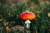 Amanita muscaria (JS-photographie) Tags: fuji fujifilm fujinon fujix fujixe1 flowers fungi pilze fliegenpilz zeiss touit touit32f18 colours autumn herbst nature touit1832 xmount