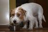 Sara. Nämm nämm! 44/52 (Tõnno Paju) Tags: sara 52weeksfordogs dog pet animal jack russel terrier tamron nikon indoors kitchen eating