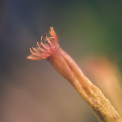 PB030060-1 (A 51) Tags: macro nature lumix fungus spores