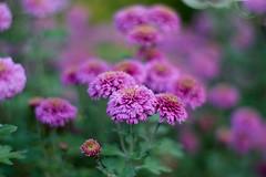Chrysanthemum (Alexandra Horvath) Tags: nature outdoor plant flowers autumn fall pink bokeh depthoffield hungary nikon nikond3200 yongnuo garden
