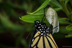 Monarch Butterfly (kelstar*) Tags: danausplexippus insects butterflies butterfly macro milkweedbutterfly monarch monarchbutterfly