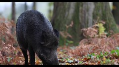 Wild boar sow, Forest of Dean, Video clip (Thomas Winstone) Tags: boar sow pig wild yongnuoflash600exrtii offcameraflash flash tripod canonuk canon 300mm28mk2 mammal mammals canon1dxmark2 uk outdoor wildlife nature 3lt 3leggedthing thomaswinstonephotography bbc springwatch bbcspringwatch nationalgeographic countryside forest forestry video acorns autumn oak woodland