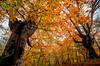 bikote sarria (juan luis olaeta) Tags: paisaje landscape autumn otoño udazkena forest bosque hayedo pagoa colores canon sigma1020