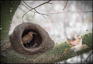 otra de los horneros y su nido (4)   /  horneros and their nest: another one! (4)