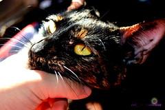 Sarang 1 (cat-anacatarina) Tags: cat cats animal animals domesticanimals cute cutecat