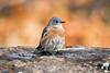 Western Bluebird (F) (Sialia mexicana) (Brown Acres Mark (always 2 days behind)) Tags: westernbluebird female sialiamexicana cascademountains jacksoncounty oregon usa markheatherington