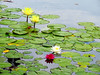 Water Lilies (vickilw) Tags: waterlilies flower water balboapark sandiego california
