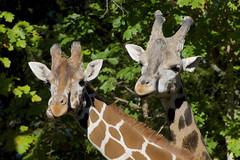 munchies² (ucumari photography) Tags: ucumariphotography giraffe animal mammal giraffa nc north carolina zoo october 2017 dsc9274 specanimal