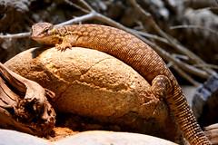 Lizard on a stone (Carandoom) Tags: lézard lizard animal macro 2017 suisse switzerland zoo reptile cute looking me regarde dof deep field