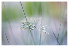 Grass (leo.roos) Tags: grass gras a7rii shenzhendongzhengoptics dzo kerlee3512 12 fmount darosa leoroos