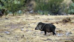 Desert Wildlife (Jeffrey Neihart) Tags: jeffreyneihart wildlife nikond7200 nikkor nikonnikkor300mmf4epfedvr kartchner statepark javelina arizona nikon d7200 300f4pfedvr 300mm f4e pf ed vr