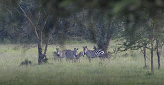 In the shade (MatsOnni) Tags: seepra equusburchellii zebra africa uganda savanna